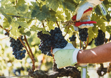 5 top wine experiences to live in Valdichiana Senese during the harvest time